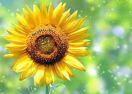 sunflower0005