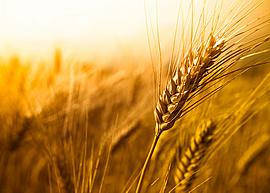 wheat0005
