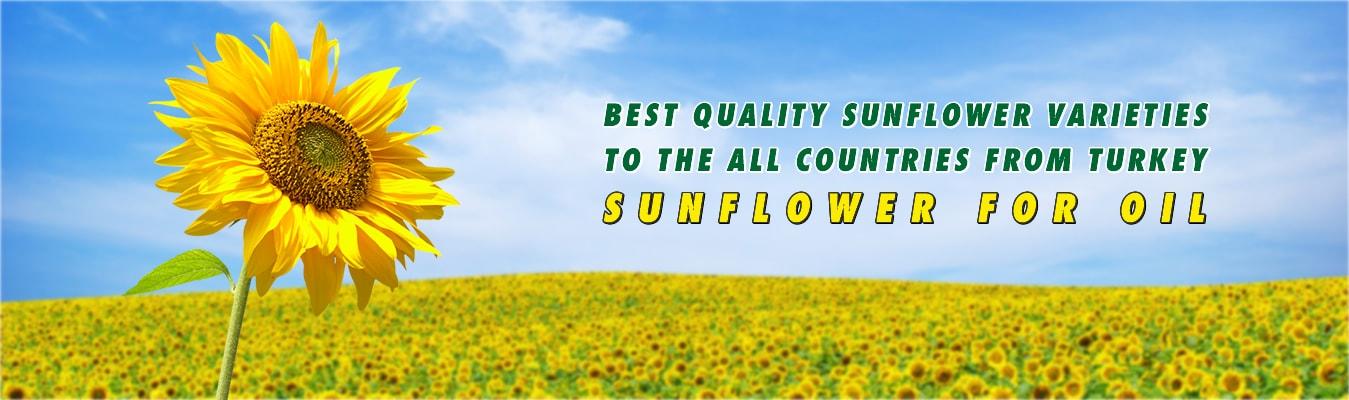 serka-agriculture-wholesale-sunflower-min