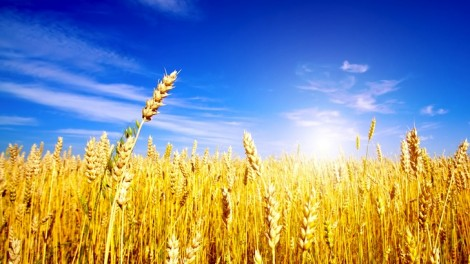 Buğday Üretimi Aşamaları