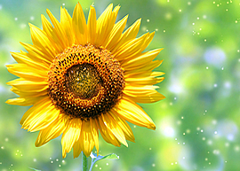 sunflower0005