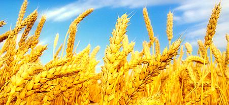 Buğday Çeşitleri