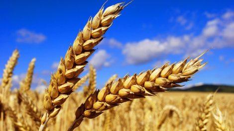 New-crop-Soft-Wheat-Ukraine