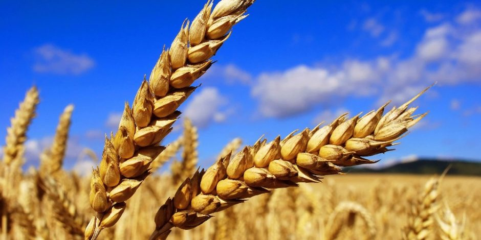New-crop-Soft-Wheat-Ukraine